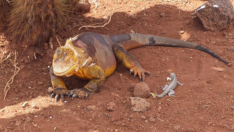iguane terrestre galapagos