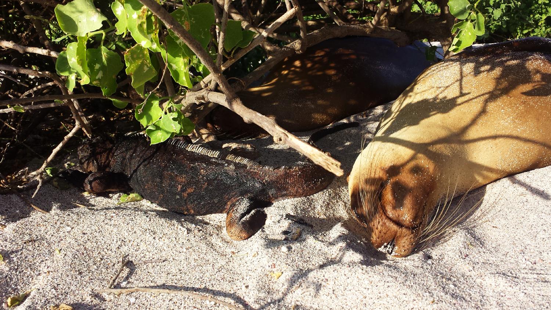 iguane marin sea lion sieste galapagos
