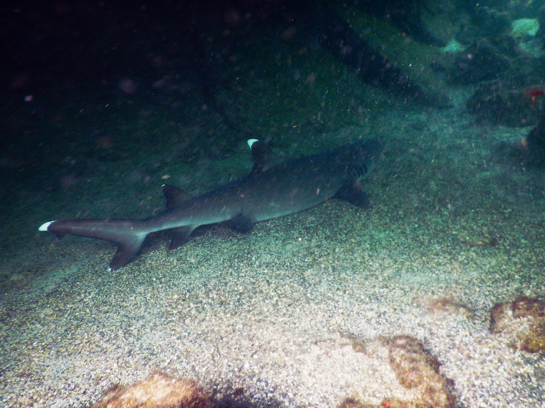 requin galapagos plongee equateur