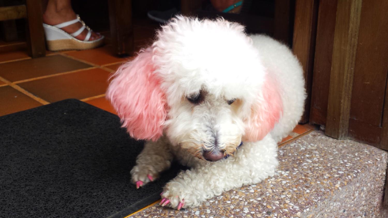 chien manicure spa colombie
