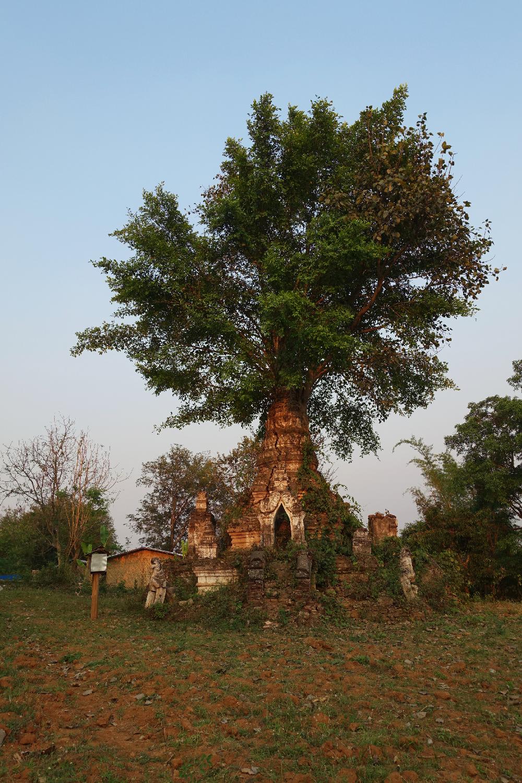 Hsipaw tree Myanmar