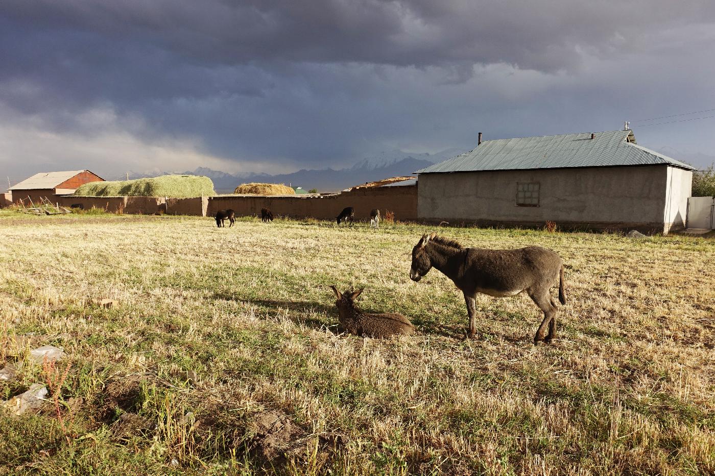 Sary Mogol donkey Khirghizstan